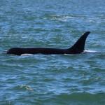 Orca swimming