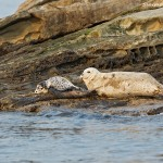 Seal with seal pup sunning on the rocks