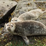 Two harbour seals sunning on the rocks
