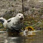 Seal sunning on the rocks