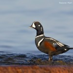 A40Y1615 sl smg Harlequin Duck