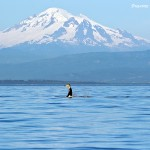 Orca tail breach in front of coastal mountains