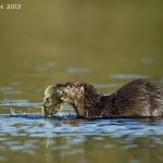 River otter catching a fish