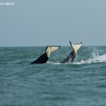 Two orcas flipping their tales out of the water