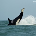 Orca diving into the water