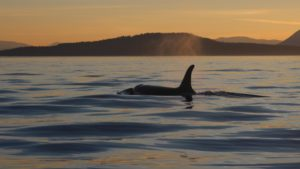 Orca swimming at sunset