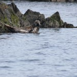 Harbour seal on the rocks