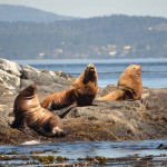 Sea lions sunning of the rocks