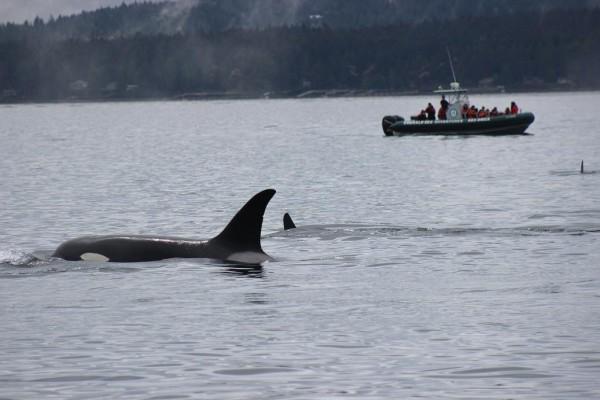 27-transient-orcas-3