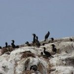 Cormorants nesting on rock bluffs