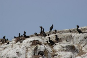 Cormorants nesting on rock bluffs