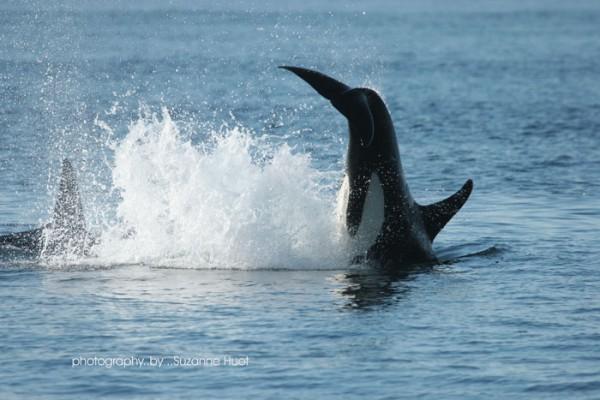 orca-attack-1