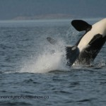Two orcas breaching