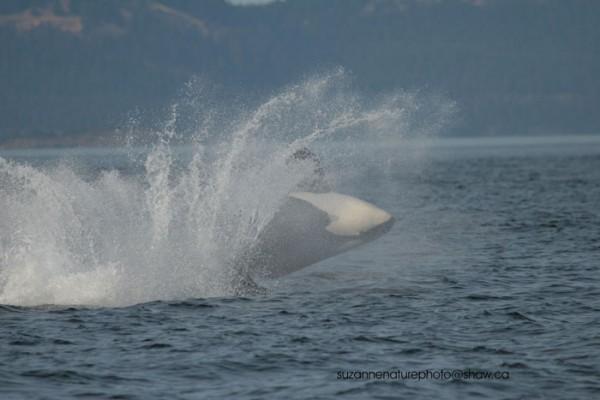 orca-attack-3