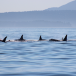 Pod of orcas swimming