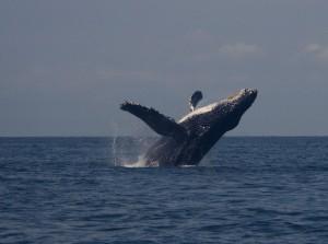 humpback whale 4 (1)