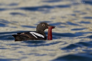 A40Y1777 smg 2 Pigeon Guillemot with lunch (1)