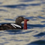 Pigeon Guillemot with lunch
