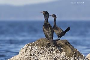 A40Y2238 sl smg Pelagic Cormorants