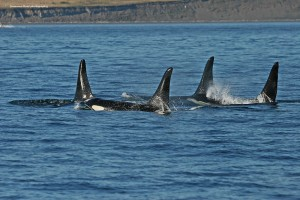 Copy (1) of IMG_9867 line of Orcas