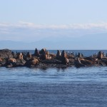 Large group of sea lions on the rocks